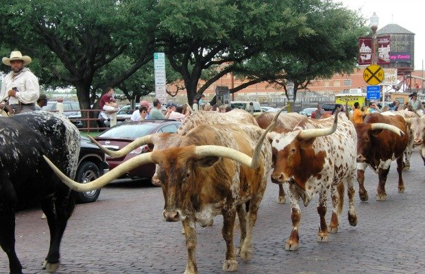 The Fort Worth Herd.jpg.jpe