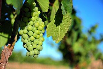grapesmain.jpg.jpe