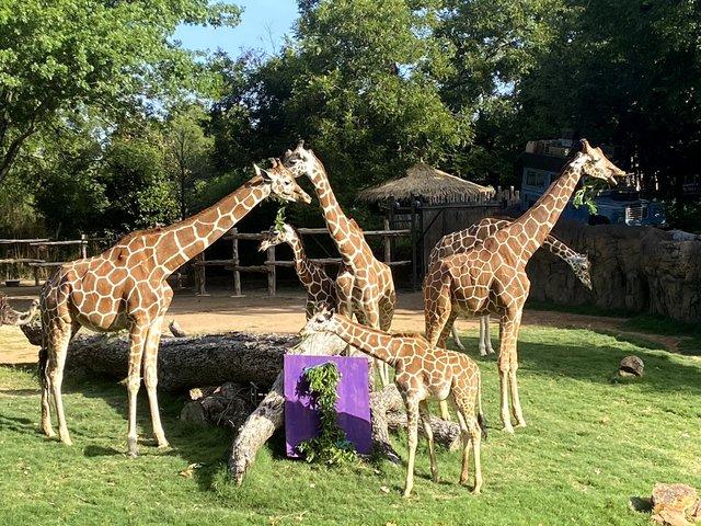 giraffe #1 - 2.jpg