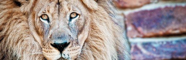 FW Zoo Lion-topper.jpg.jpe