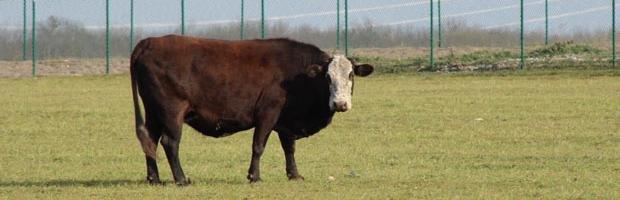 cow_0.jpg.jpe