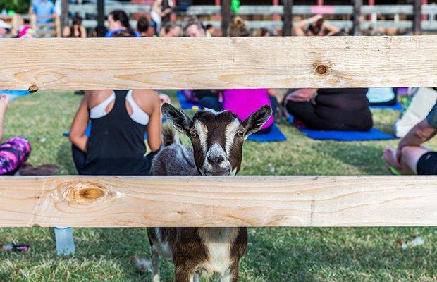 goat yoga main.jpg.jpe
